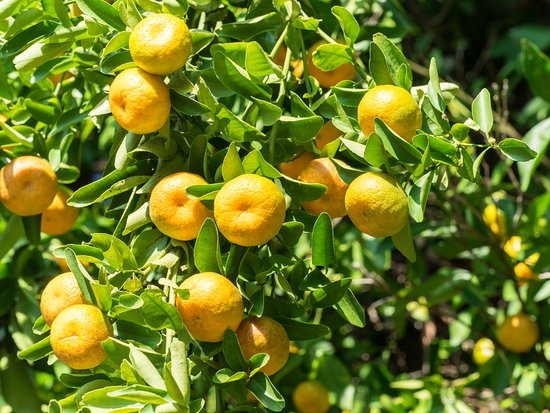 Honaunau, HI: Pick a fresh tangerine in the garden