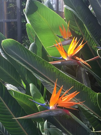 Kennett Square, PA: Bird of Paradise at Longwood Garedens