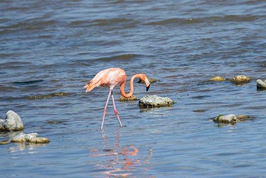 Washington-Slagbaai National Park, Μπονέρ: Eén van de vele Flamingo's die vooral aan de noordzijde zitten