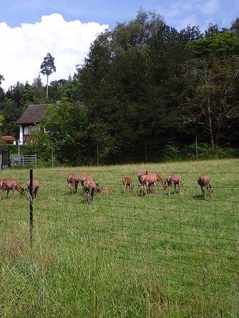 Wildnispark Zurich Langenberg: Wild deers