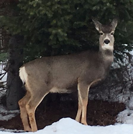 Whitefish, MT: Beautiful deer everywhere!