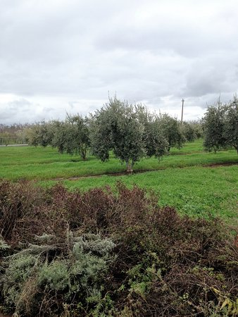 Winters, CA: Olive Trees