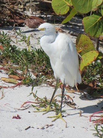 Belleair Beach, FL: Ibis on the beach