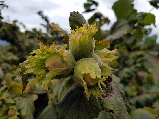 Hagley, Australia: hazelnuts