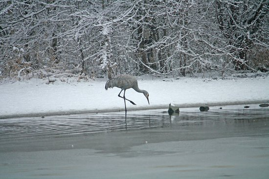 Delta, Canada: Sandhill crane by one of the ponds; they were exciting to see fly in