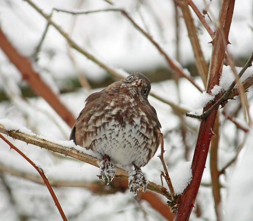 Дельта, Канада: Fox sparrow--listed as a rare visitor. We saw two or three.
