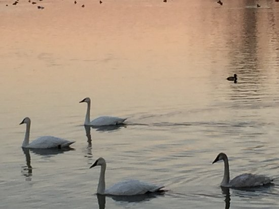 Heber Springs, AR: Trumpeter Swans at sundown on Lake Magness