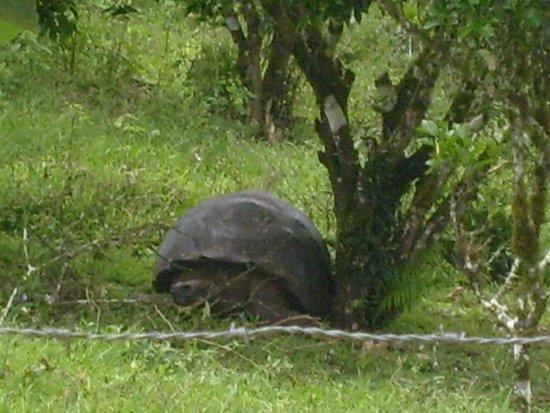 Administracion Turistica del Parque Nacional Galapagos: Tortuga gigante, había muchísimas