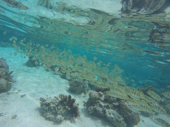 Tahaa, Französisch-Polynesien: Cardumen