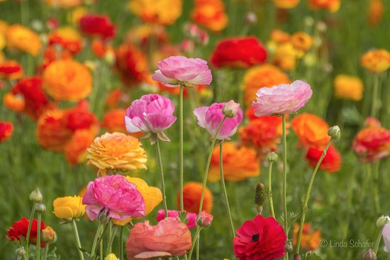 A close-up view of the Ranunuculus flowers that the colorful