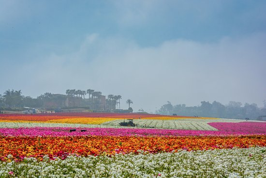 Carlsbad Flower Fields: The multi-colored fields of flowers are gorgeous when in full bloom. Take time to walk the field