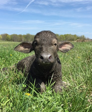 Stirling, Canadá: Newborn baby buffalo