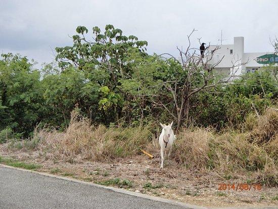 Nishihama Beach: 道中にヤギがいます^^