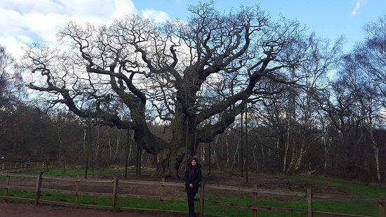 Графство Ноттингемшир, UK: Sherwood Forest