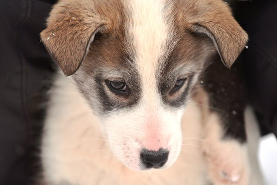 Longyearbyen, Norway: Husky puppies at Trapper's Station