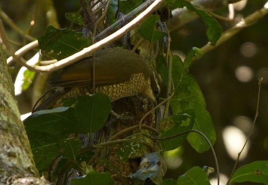 Rathdowney, Australia: Paradise riffle-bird