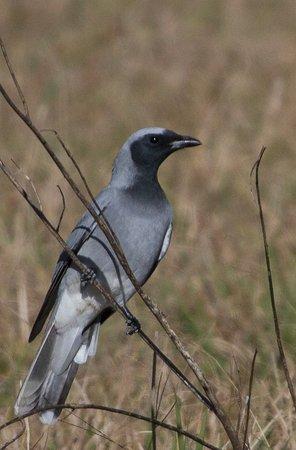 Rathdowney, Avustralya: Black-faced cuckoo-shrike