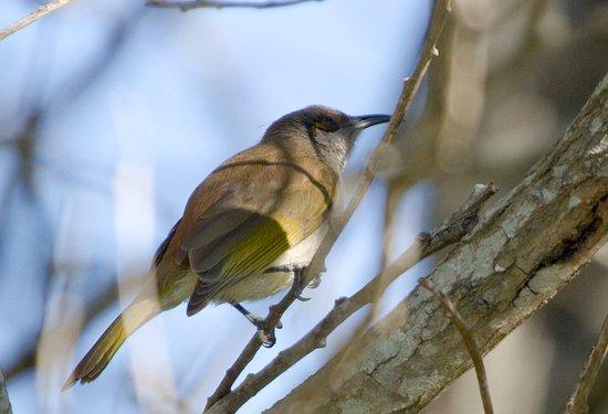Rathdowney, Australia: Brown honey-eater