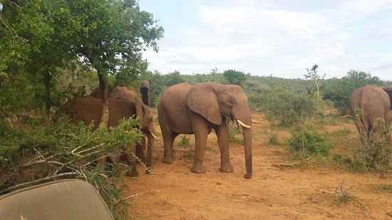Pongola, Sør-Afrika: Elephants grazing.
