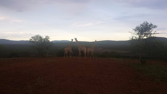 Pongola, Afrika Selatan: Giraffe posing right in front of us.