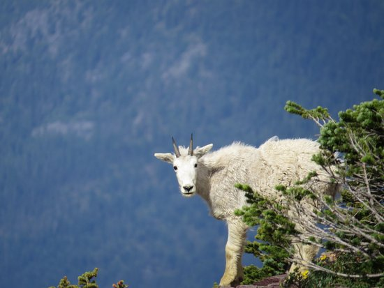 Hidden Lake: Mountain goat near overlook