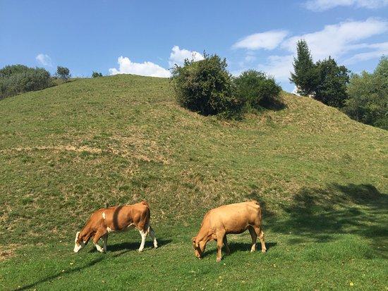 Province of Treviso, Italy: mucche al pascolo
