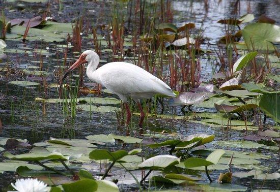 Newport, Carolina del Norte: White Ibis.