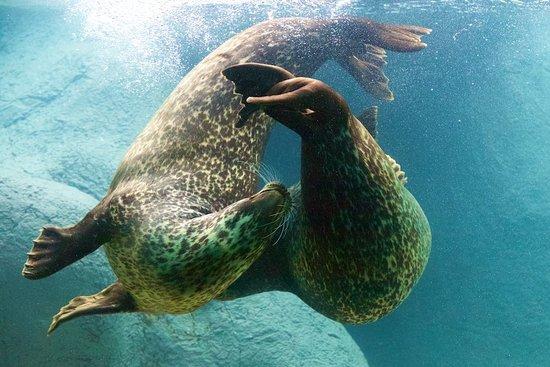 Asheboro, Kuzey Carolina: Harbor Seals play in the Zoo's Rocky Coast area.