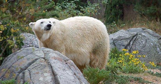 Asheboro, Βόρεια Καρολίνα: Polar Bears in the North Carolina Zoo's Rocky Coast habitat