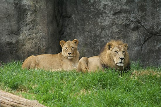 Asheboro, NC: Lions in the North Carolina Zoo's Africa region.