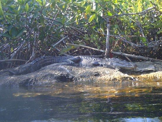 Casa Cenote: Crocodile