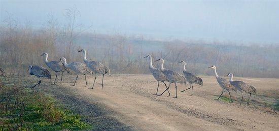 Merced National Wildlife Refuge: Sandhill Cranes crossing road in front of our car