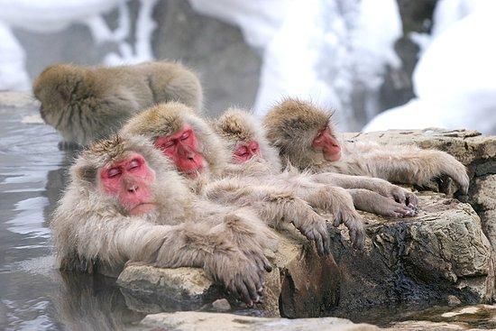 Japan: Jigokudani Monkey Park (Nagano)