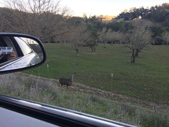 Paso Robles, Kaliforniya: Deer just off the road, very rural
