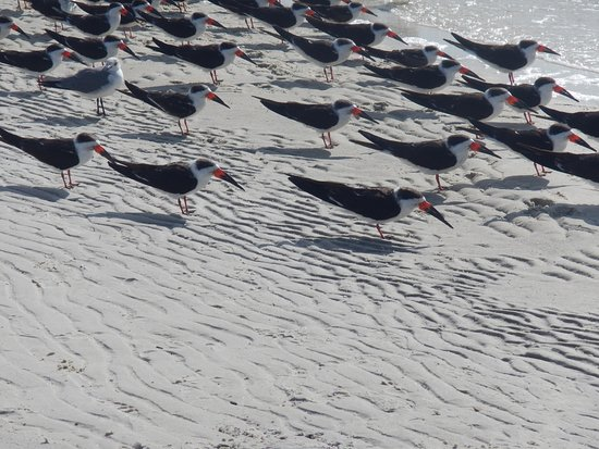 Fort Island Gulf Beach: Close up of skimmers