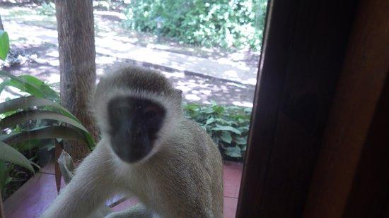 Arumeru River Lodge: Curious monkey
