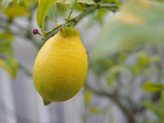 le citron de menton - Photo de Jardin du Palais Carnolès ...