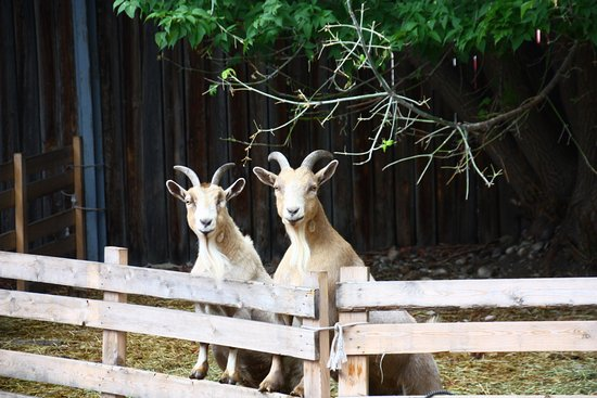 Fort Macleod, Kanada: Goats at the Fort