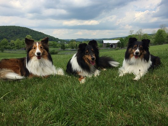 Morris, NY: Sheltie smiles. They so love coming here.