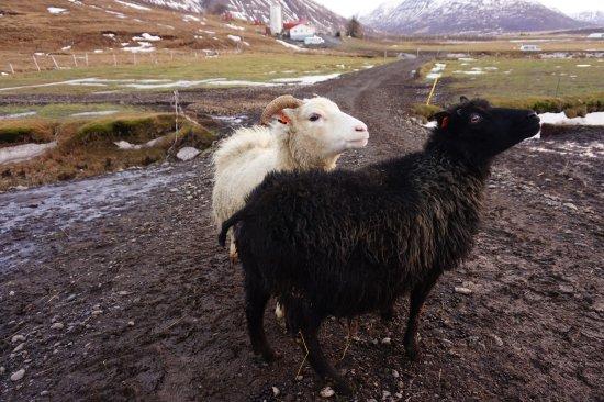 Polar Hestar : Sheeeep
