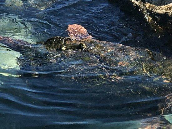 Florida Oceanographic Coastal Center: Lilly, the loggerhead sea turtle
