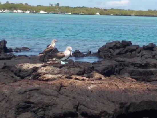 Puerto Villamil, Ecuador: Blue-footed boobies at Las Tintoreras