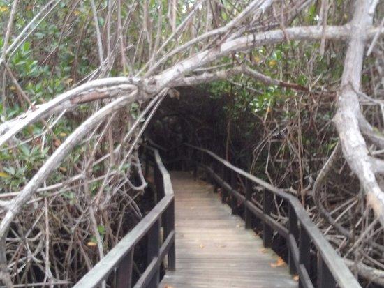 Puerto Villamil, Ecuador: The wooden brigde through the mangrove ecosystem towards Concha de Perla