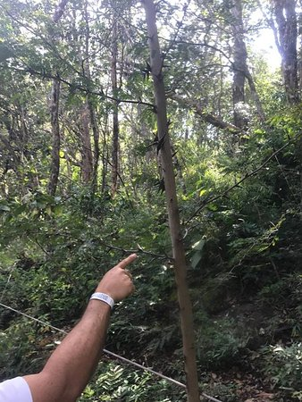 Issys Tours Costa Rica: Thorn covered tree full of red ants - don't grab this if you trip!