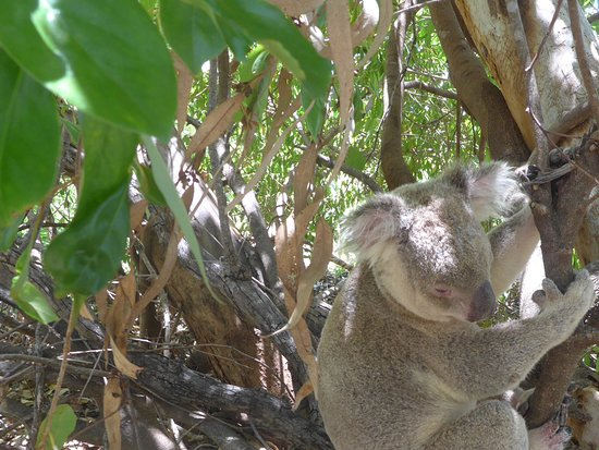 Koala heaven on Magnetic Island.