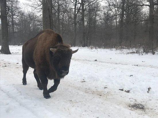 Bucsani, Roemenië: Neagra Bison Reservation, Romania