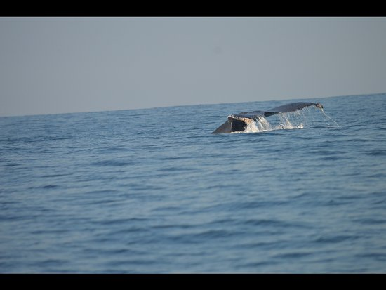 Whale Watch Vallarta: Whales tail with barnacles