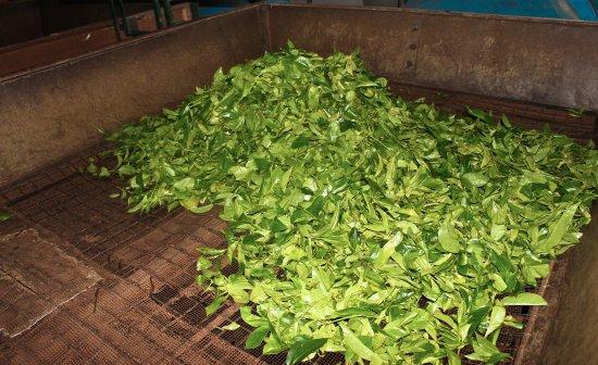 Gampola, Sri Lanka: Fresh Tea Leaves ready for the next step!