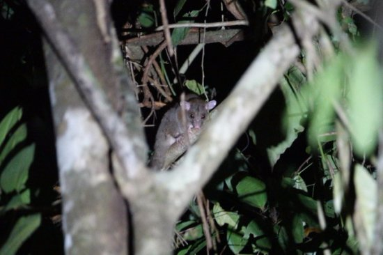 The Night Tour with Tracie The Bug Lady: Central American Woolly Opossum