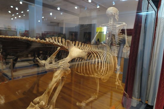 The Barnum Museum : The centaur skeleton is a true Barnum-esque curiosity now on display!